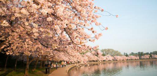 Cherry Blossom Watch 2012