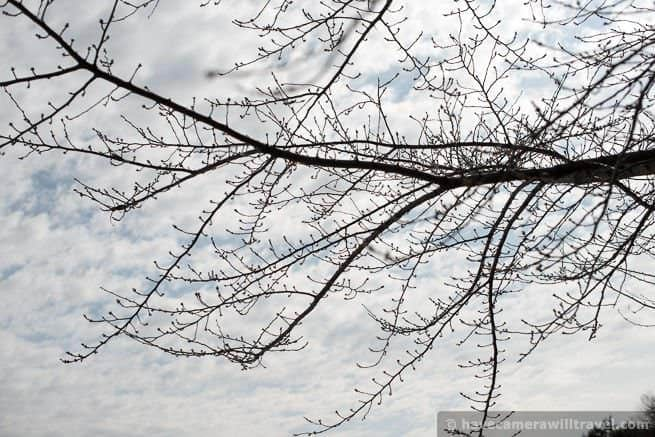 Cherry Blossom Watch Update: February 20, 2014