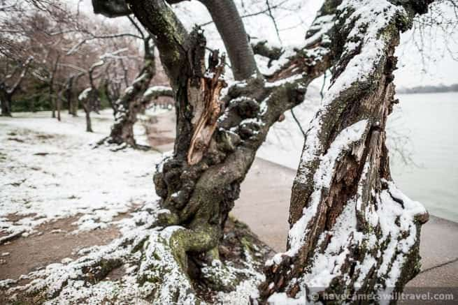 wpid4169-Washington-DCs-Yoshino-Cherry-Trees-in-the-Snow-01-COPYRIGHT.jpg