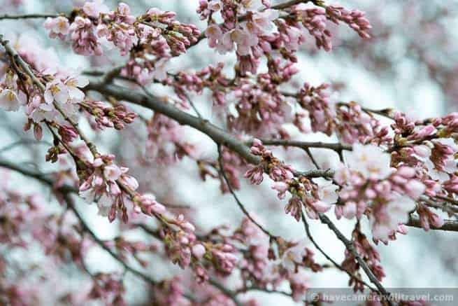 wpid4411-Washington-DC-Cherry-Blossoms-April-4-2014-04-COPYRIGHT.jpg