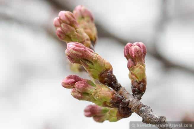wpid4433-Washington-DC-Cherry-Blossoms-April-4-2014-15-COPYRIGHT.jpg