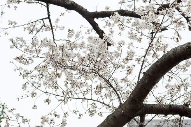 wpid4435-Washington-DC-Cherry-Blossoms-April-4-2014-16-COPYRIGHT.jpg