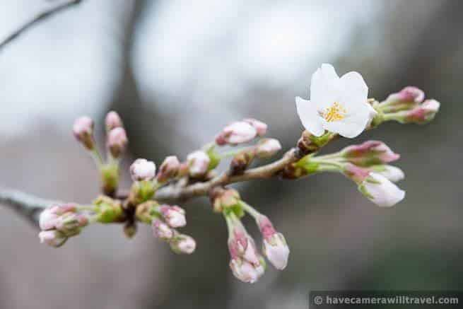 wpid4455-Washington-DC-Cherry-Blossoms-April-4-2014-26-COPYRIGHT.jpg
