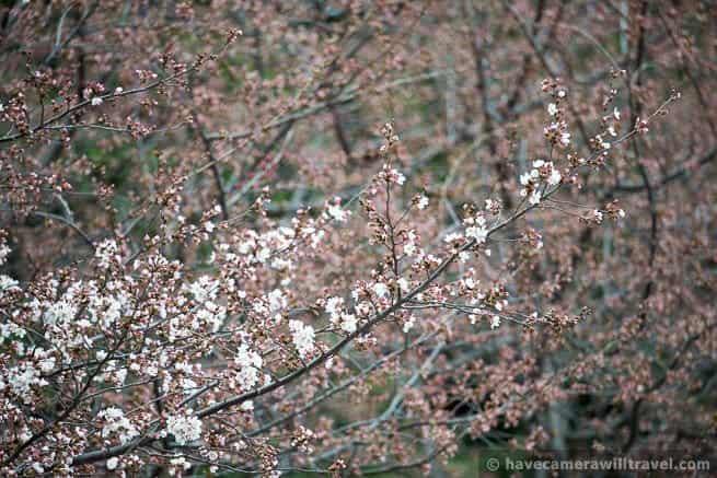 wpid4459-Washington-DC-Cherry-Blossoms-April-4-2014-28-COPYRIGHT.jpg