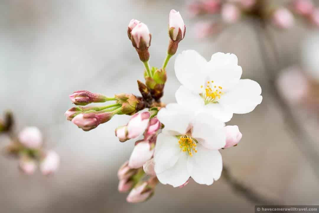 wpid4473-Washington-DC-Cherry-Blossoms-April-4-2014-01-COPYRIGHT.jpg