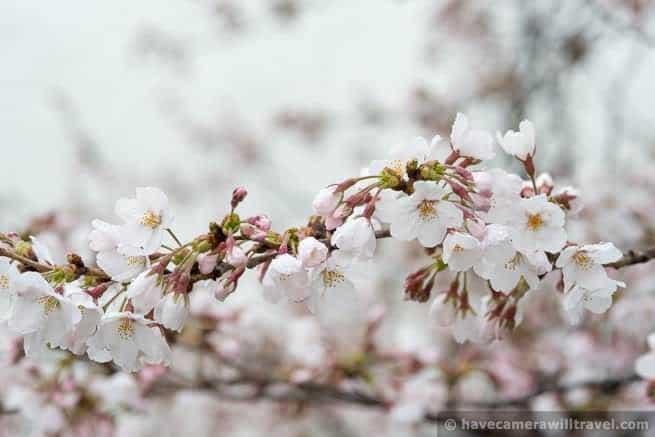 wpid4529-Washington-DC-Cherry-Blossoms-April-7-2014-07-COPYRIGHT.jpg