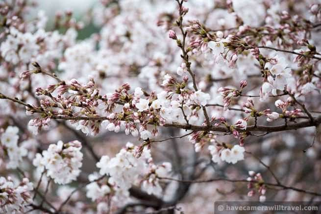 wpid4533-Washington-DC-Cherry-Blossoms-April-7-2014-09-COPYRIGHT.jpg