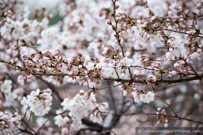 wpid4533-Washington-DC-Cherry-Blossoms-April-7-2014-09-COPYRIGHT.jpg