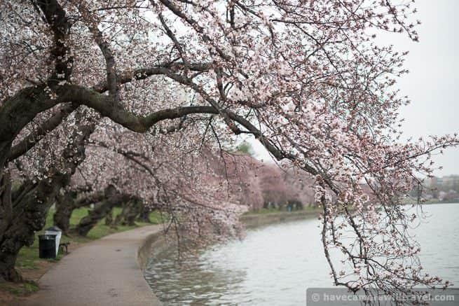 wpid4537-Washington-DC-Cherry-Blossoms-April-7-2014-11-COPYRIGHT.jpg