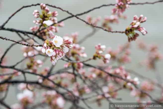 wpid4541-Washington-DC-Cherry-Blossoms-April-7-2014-13-COPYRIGHT.jpg