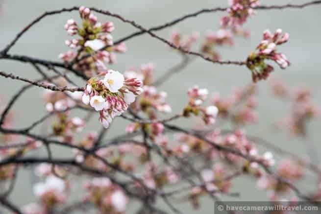 wpid4541-Washington-DC-Cherry-Blossoms-April-7-2014-13-COPYRIGHT.jpg