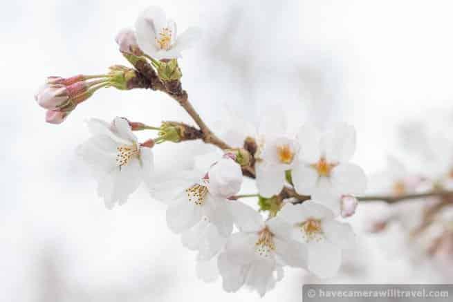 wpid4563-Washington-DC-Cherry-Blossoms-April-7-2014-01-COPYRIGHT.jpg