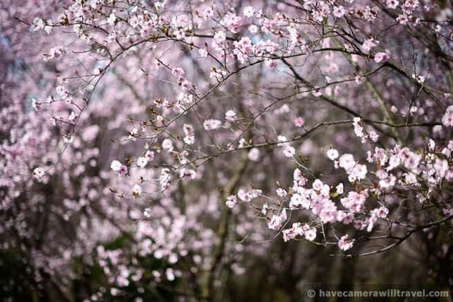 Japanese Plum Blossoms
