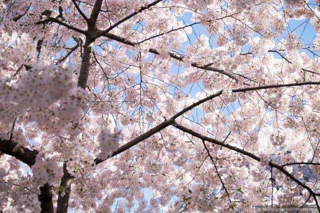 wpid4881-Washington-DC-Cherry-Blossoms-April-12-2014-05-COPYRIGHT.jpg