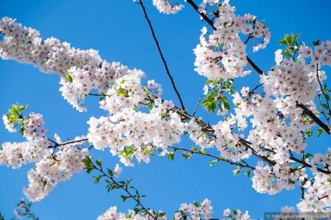 wpid4887-Washington-DC-Cherry-Blossoms-April-12-2014-08-COPYRIGHT.jpg