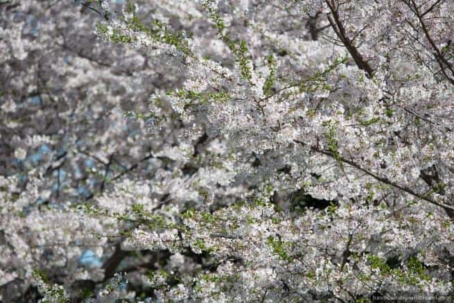 wpid4899-Washington-DC-Cherry-Blossoms-April-12-2014-14-COPYRIGHT.jpg