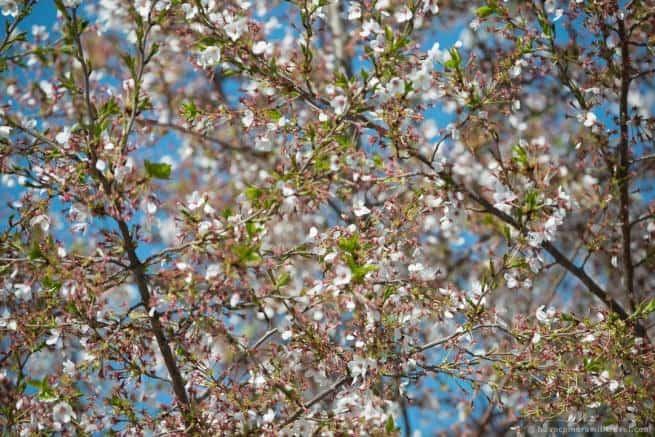 wpid4903-Washington-DC-Cherry-Blossoms-April-12-2014-15-COPYRIGHT.jpg