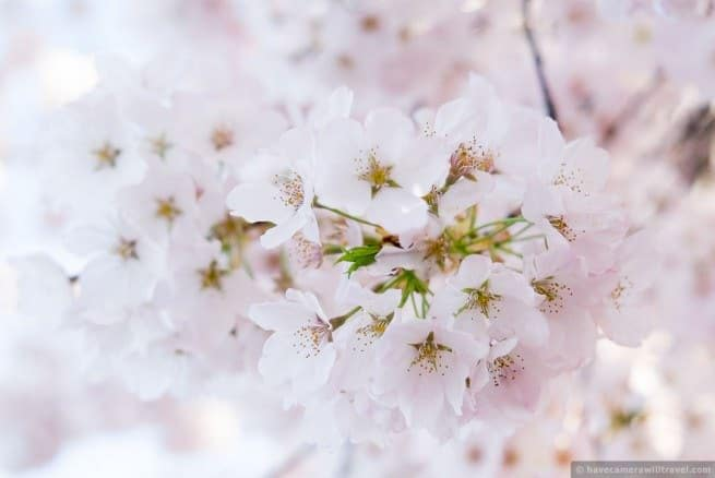 wpid4905-Washington-DC-Cherry-Blossoms-April-12-2014-01-COPYRIGHT.jpg