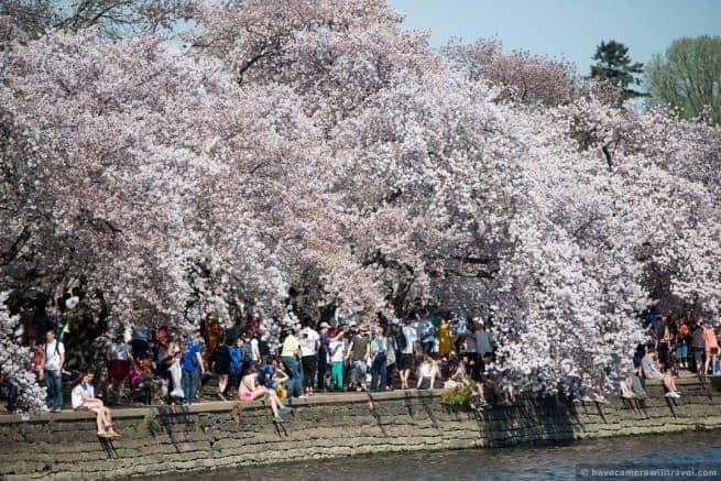 wpid4909-Washington-DC-Cherry-Blossoms-April-12-2014-17-COPYRIGHT.jpg