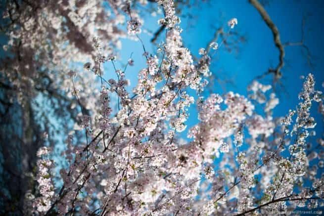 wpid4913-Washington-DC-Cherry-Blossoms-April-12-2014-19-COPYRIGHT.jpg
