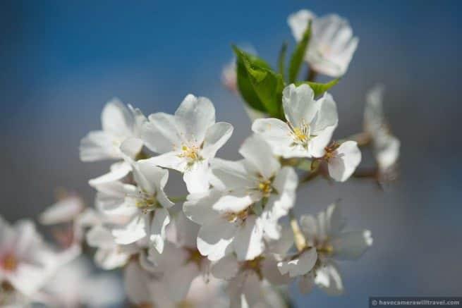 wpid4919-Washington-DC-Cherry-Blossoms-April-12-2014-22-COPYRIGHT.jpg