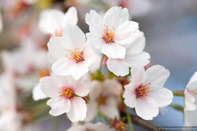 wpid4951-Washington-DC-Cherry-Blossoms-April-13-2014-09-COPYRIGHT.jpg