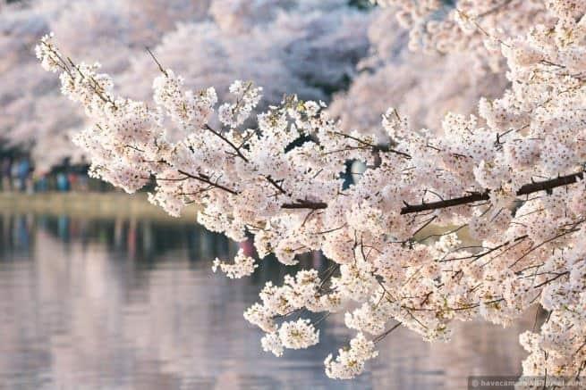 wpid4967-Washington-DC-Cherry-Blossoms-April-13-2014-17-COPYRIGHT.jpg