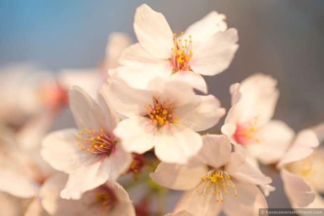 wpid4969-Washington-DC-Cherry-Blossoms-April-13-2014-18-COPYRIGHT.jpg