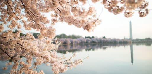 2017 Cherry Blossom Peak Bloom Forecasts