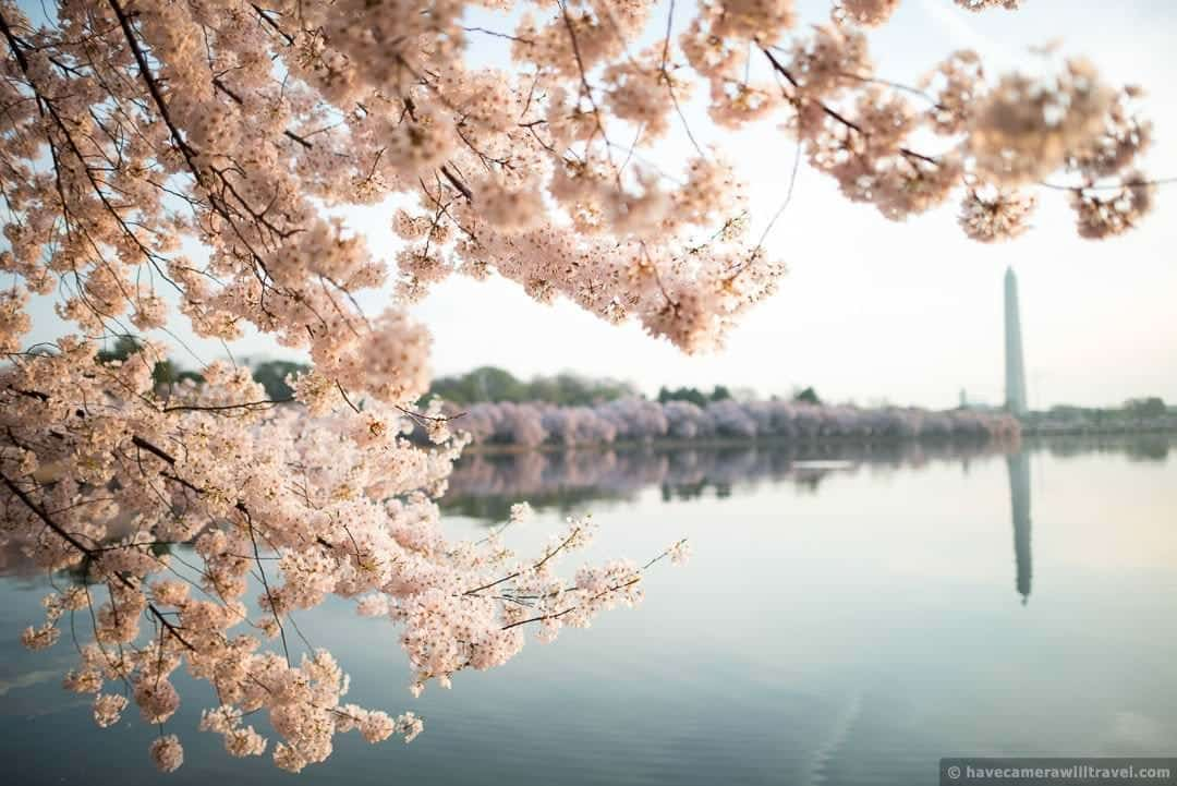 washington dc cherry blossom peak bloom forecasts, Natural flower