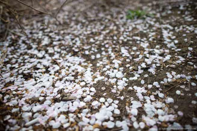 wpid4995-Washington-DC-Cherry-Blossoms-April-13-2014-31-COPYRIGHT.jpg