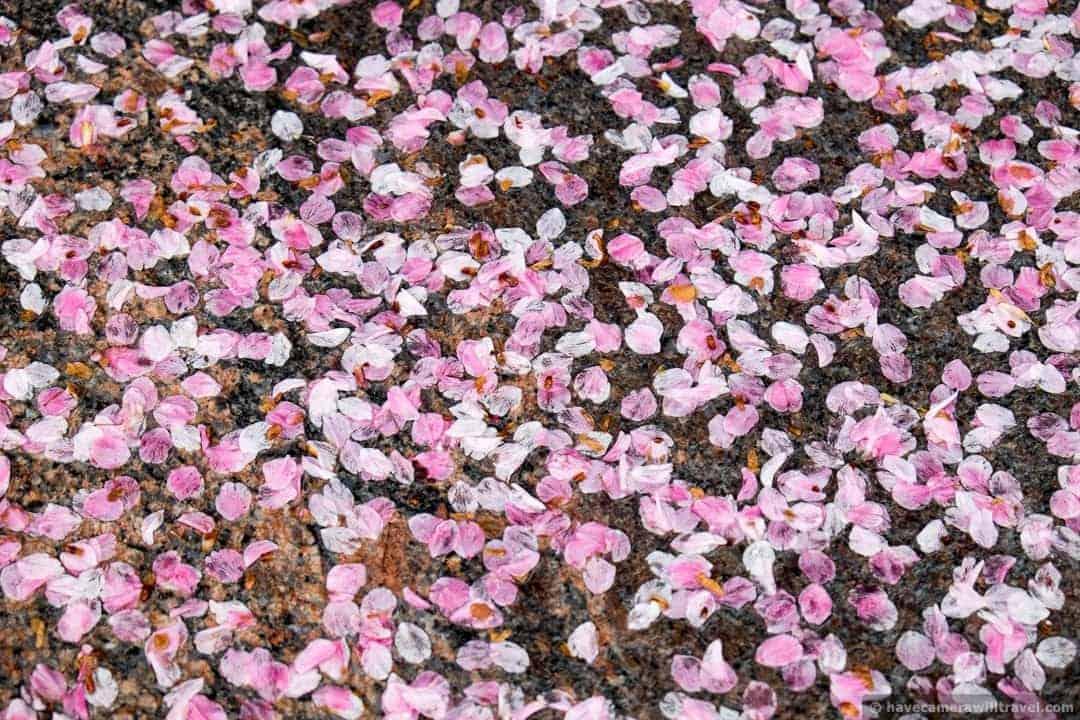 wpid5024-Washington-DC-Cherry-Blossoms-April-15-2014-04-COPYRIGHT.jpg