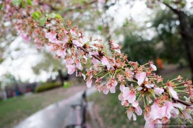 wpid5030-Washington-DC-Cherry-Blossoms-April-15-2014-07-COPYRIGHT.jpg