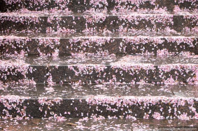 wpid5034-Washington-DC-Cherry-Blossoms-April-15-2014-09-COPYRIGHT.jpg