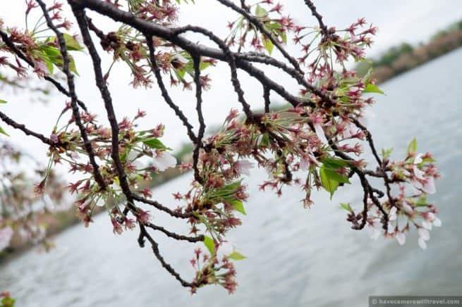wpid5036-Washington-DC-Cherry-Blossoms-April-15-2014-10-COPYRIGHT.jpg