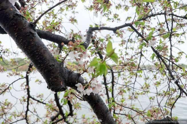 wpid5040-Washington-DC-Cherry-Blossoms-April-15-2014-12-COPYRIGHT.jpg