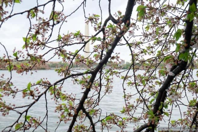 wpid5042-Washington-DC-Cherry-Blossoms-April-15-2014-13-COPYRIGHT.jpg