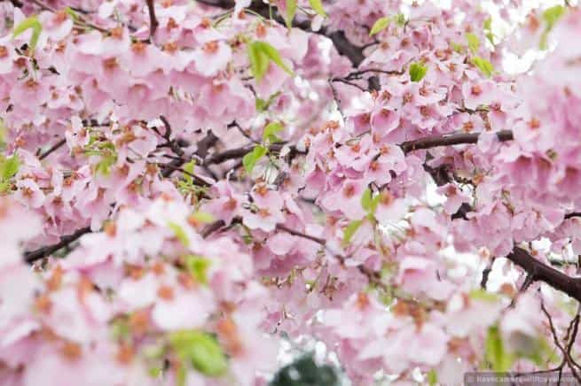 wpid5044-Washington-DC-Cherry-Blossoms-April-15-2014-14-COPYRIGHT.jpg