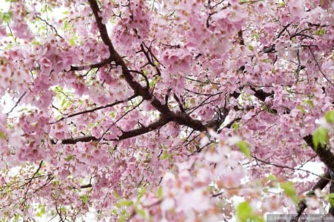 wpid5046-Washington-DC-Cherry-Blossoms-April-15-2014-15-COPYRIGHT.jpg
