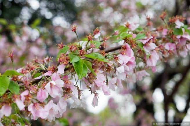 wpid5048-Washington-DC-Cherry-Blossoms-April-15-2014-16-COPYRIGHT.jpg