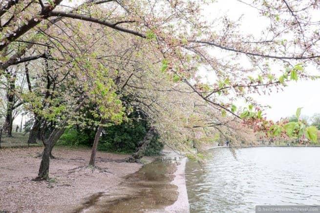 wpid5050-Washington-DC-Cherry-Blossoms-April-15-2014-17-COPYRIGHT.jpg