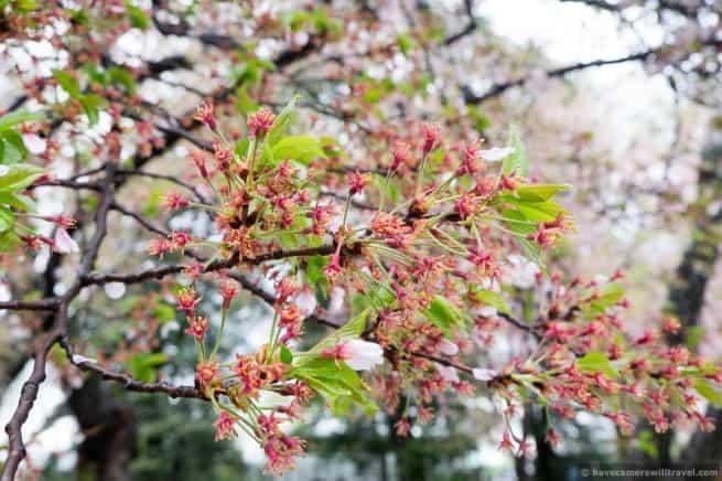 wpid5052-Washington-DC-Cherry-Blossoms-April-15-2014-18-COPYRIGHT.jpg