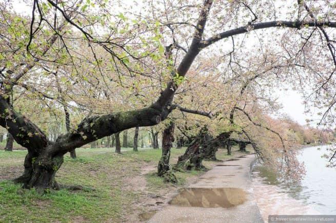wpid5056-Washington-DC-Cherry-Blossoms-April-15-2014-20-COPYRIGHT.jpg