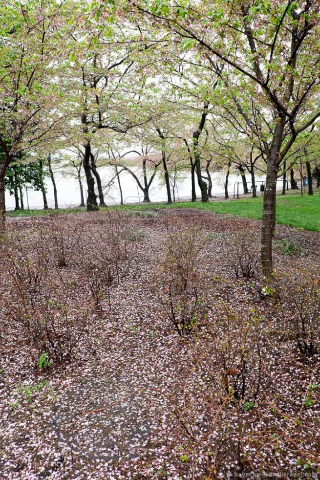 wpid5062-Washington-DC-Cherry-Blossoms-April-15-2014-23-COPYRIGHT.jpg