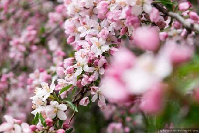 wpid5066-Washington-DC-Cherry-Blossoms-April-15-2014-25-COPYRIGHT.jpg