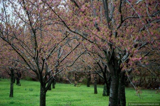 wpid5072-Washington-DC-Cherry-Blossoms-April-15-2014-28-COPYRIGHT.jpg