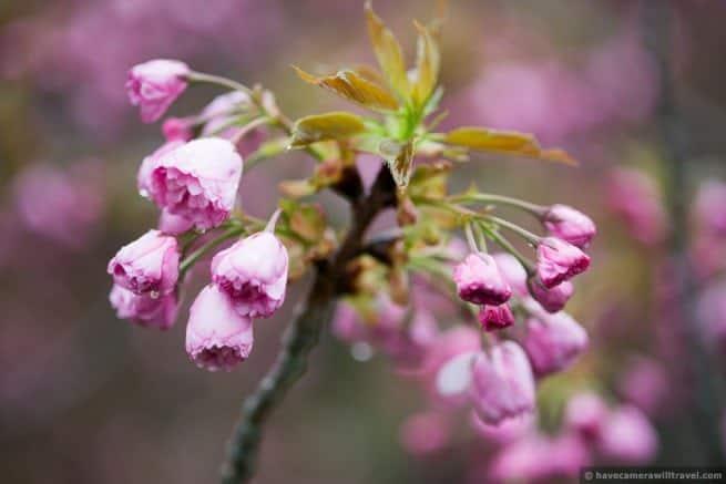 wpid5074-Washington-DC-Cherry-Blossoms-April-15-2014-29-COPYRIGHT.jpg