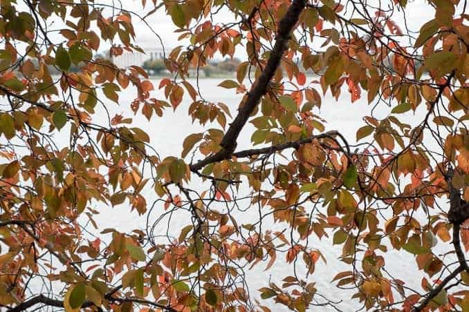 Cherry Blossom Watch Update: November 2, 2014