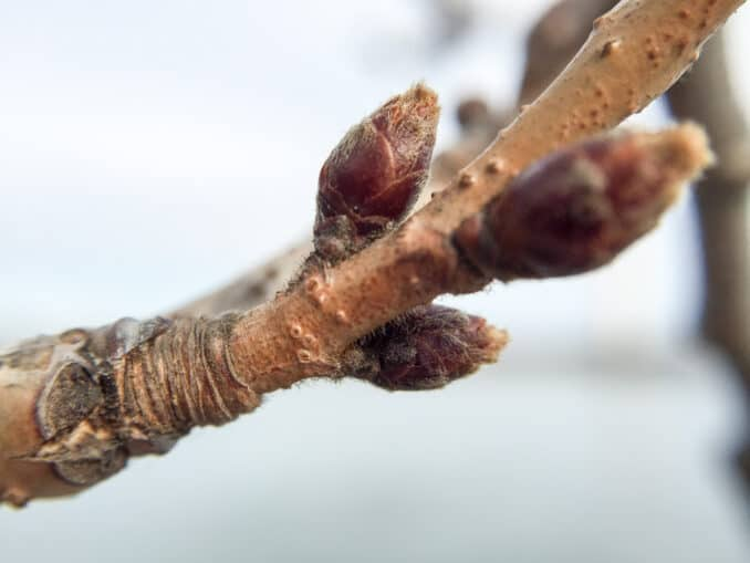 Cherry Blossom Watch Update - January 25, 2015