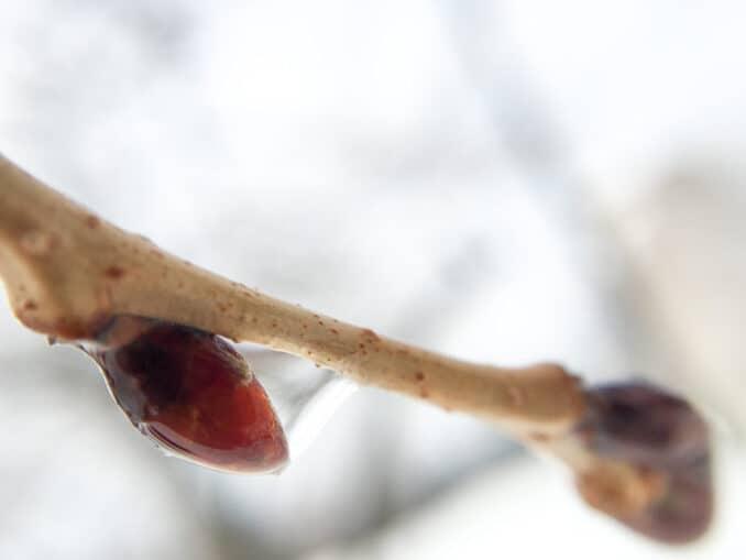 Cherry Blossoms - February 22, 2015